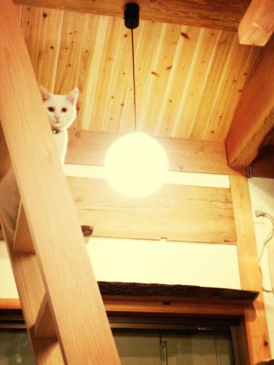 Japanese Cat's