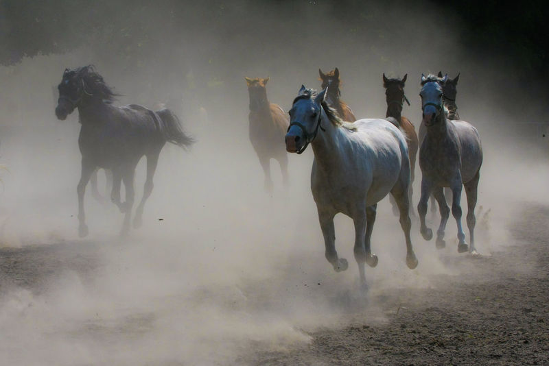 Animal Themes Arabian Horses Domestic Animals Dust Field Gallop Galloping Herd Of Horses Horse Horse Stud Horses Mammal Nature Outdoors Speed