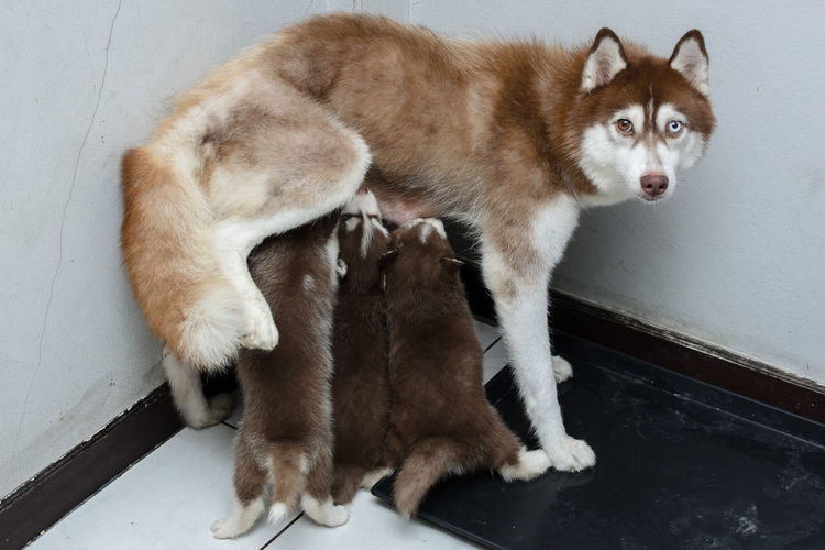 Animals Breed Dog Face Fur Pet Pretty Puppy Siberian Husky Young