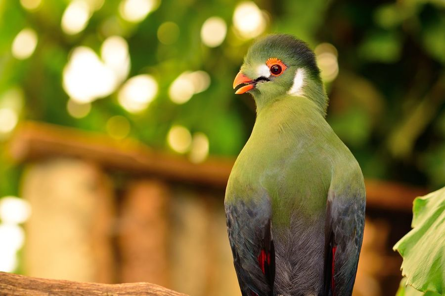 Animals In The Wild Check This Out Colors EyeEm Best Shots EyeEm Nature Lover Green Green Color Nature Taking Photos Turaco Animal Themes Animal Wildlife Beauty In Nature Bird Close-up Day Focus On Foreground Nature_collection No People Outdoors Perching Portrait Selective Focus Tropical Wildlife