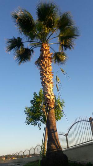 Palm Tree Sunset Outdoors Day Nature Tree No People Palmiye Yabani Yulaf Yabanibitkiler Yeşil Mavi Manavgat Otogar Suan Moment Avena Sativa Avena Bitki Doğa Plant Freshness Green Color Gunbatarken