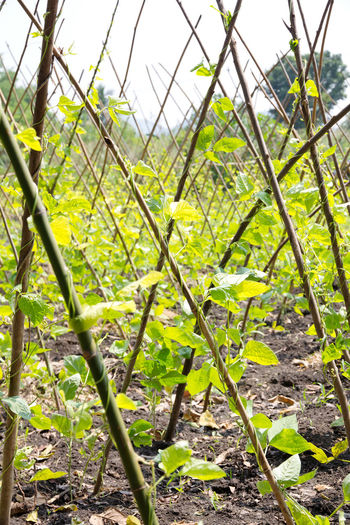Yardlong bean farm Agriculture Agriculture Farm Farm Yardlong Bean Yardlong Bean Farm Yardlong Bean Farmer Agriculture Photography Beauty In Nature Farming Growth Leaf Nature Outdoors Plant