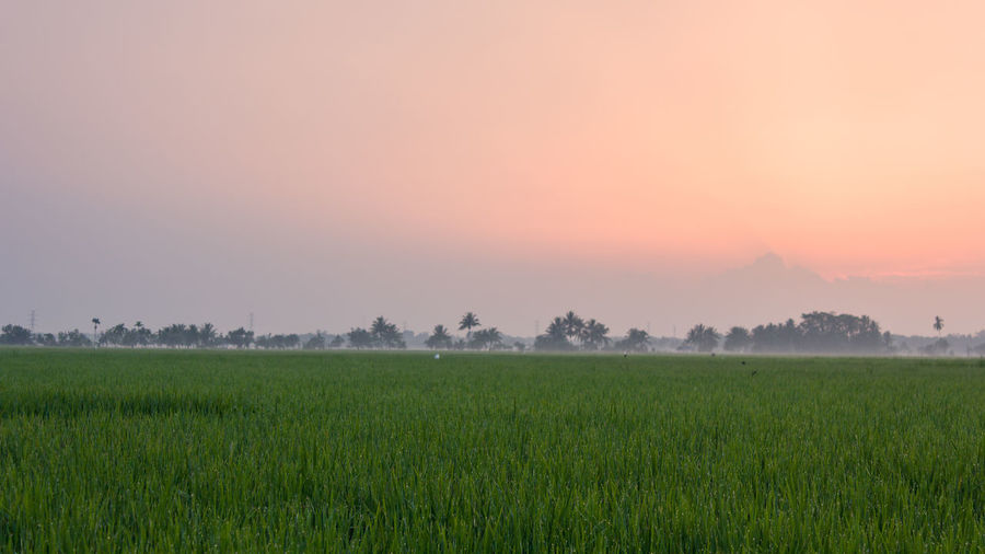 Field Dawn Early Morning Agriculture Farm Crop  Freshness Rural Scene Nature Springtime Landscape Beauty In Nature Sunset Tranquil Scene No People Fragility Sunlight Tree Scenics Fog Outdoors Growth Dawn Of A New Day Dawn Collection