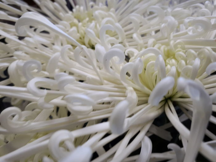 flower Macro Flower Head Flower Sea Anemone UnderSea Full Frame White Color Close-up Chrysanthemum Blooming Osteospermum Focus