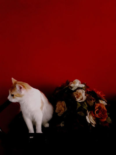 Red Tommy Tomy Animal Themes Cat Chat Colored Background Day Domestic Animals Domestic Cat Fleurs Flower Flowers Indoors  Look Lovely Mammal No People Pets Red Regard Rouge Sitting Studio Shot Sweetness