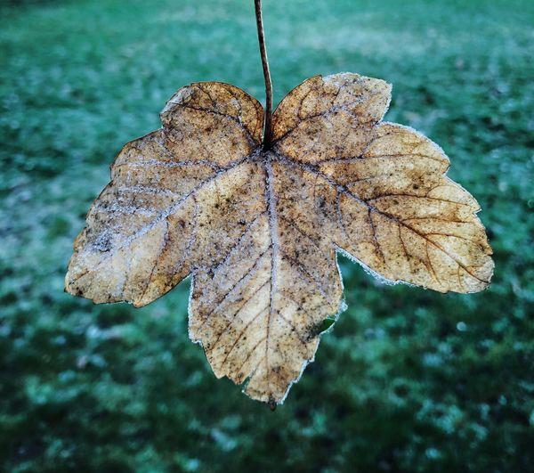 Frost leaf Snow