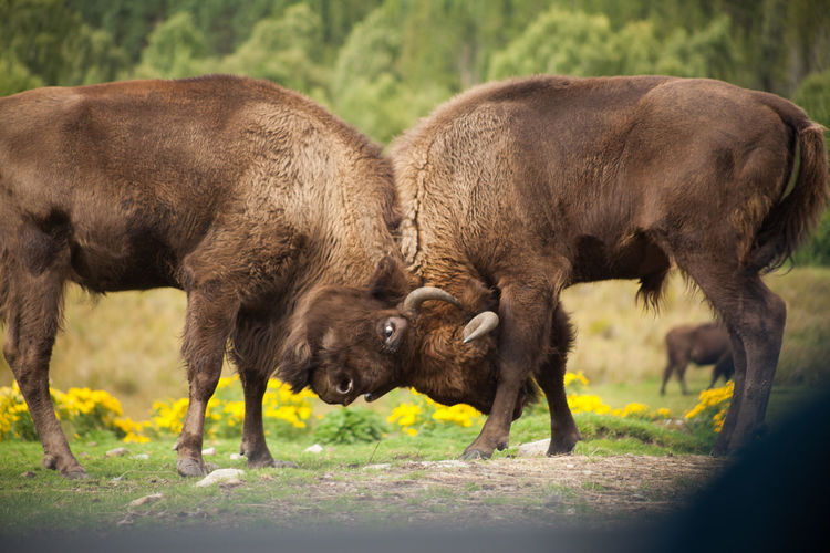 Side view of american bison fighting on field