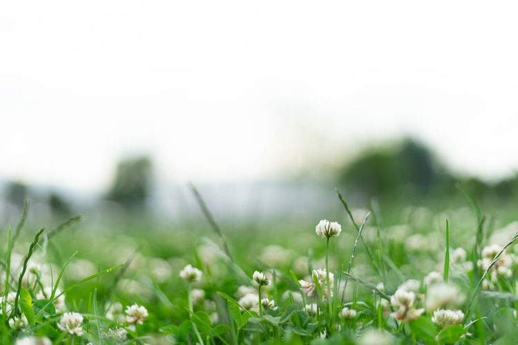 Beauty In Nature Blade Of Grass Close-up Copy Space Day Environment Field Flower Flowering Plant Freshness Grass Green Color Land Landscape Meadow Nature No People Outdoors Plain Plant Selective Focus Springtime Surface Level