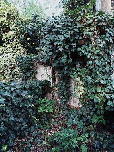 Ivy growing on wall against building