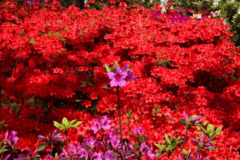 Flower Red Nature Growth Beauty In Nature Leaf Plant Outdoors Fragility No People Day Blooming Freshness Flower Head Tree Close-up