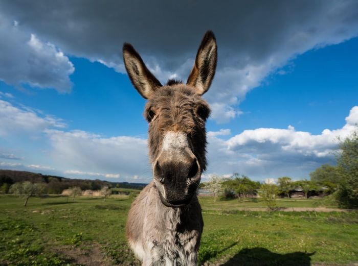 Sky Cloud - Sky Domestic Animals Animal Themes Mammal One Animal Day Looking At Camera Outdoors Portrait No People Grass Landscape Standing Nature Close-up Wide Angle Donkey FUNNY ANIMALS Funnypictures Sunny Day Sun Ears Ears Up No Filter EyeEmNewHere