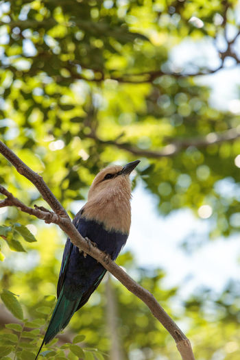 Northern purple roller called Coracias naevius naevius perches in a tree, its purple feathers visible along the side of its body. Animal Themes Animal Wildlife Animals In The Wild Avian Beak Beauty In Nature Bird Branch Close-up Coracias Naevius Coracias Naevius Naevius Day Feather  Nature No People Northern Purple Roller One Animal Outdoors Perching Purple Roller Tree Tree Wild Wild Bird Wildbird