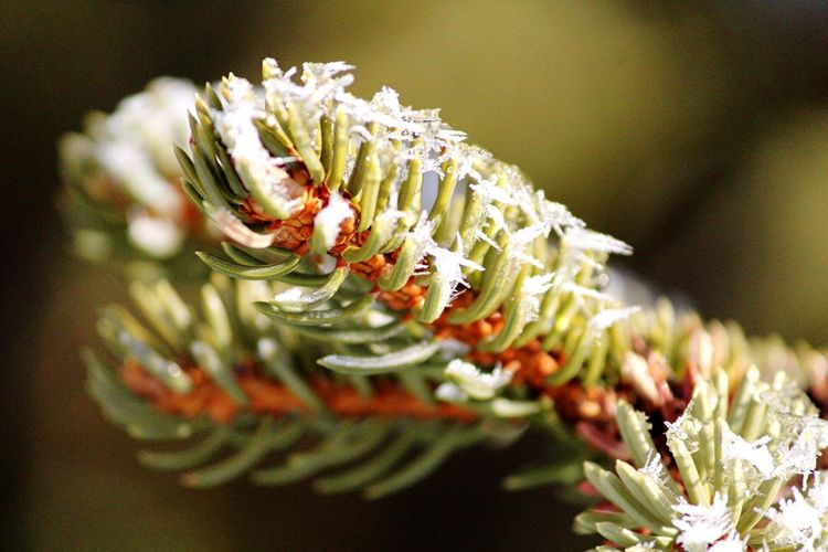 Christmas Winter Pine Tree Snowcristals  Snowflakes Snow On Pine Tree Snow Flower Close-up Freshness Nature Selective Focus No People Fragility Beauty In Nature Plant Day Growth Shades Of Winter