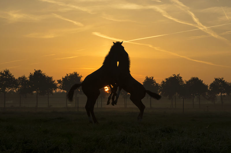Two become one !! Foals playing in the early morning... Foals Foal In Field Foalsforever Domestic Animals Nature Rise And Shine Thenetherlands Roosendaal Animal Themes Beauty In Nature Horsephotography Sunrisephotography Eyeemsunrise Sunrise - Dawn Farmhouse Photography Ideas Coming To Life Photographing Nature WakeUpEarly Sunrise_Collection Horses Horsepower EyeEmcolorful