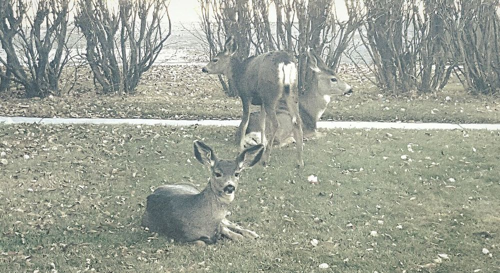 Outdoors Deer Day Nature Wildlife In My Backyard Wildlife In Residential Area Feeling Safe With Mom Wild Life Photo Milenamulskephotography