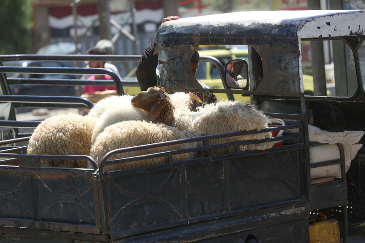 Close-up of sheep in car