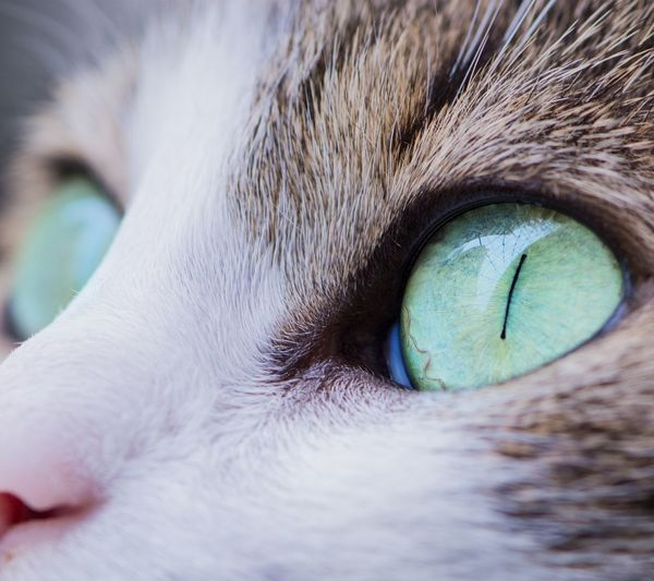 Pets Domestic Cat Eye Domestic Animals Portrait Looking At Camera One Animal Animal Themes Close-up Feline Mammal Blue Human Body Part Human Eye Adult Beauty Eyesight Day People Outdoors Blue Eyes Gray Cat Love Cats Pets Of Eyeem