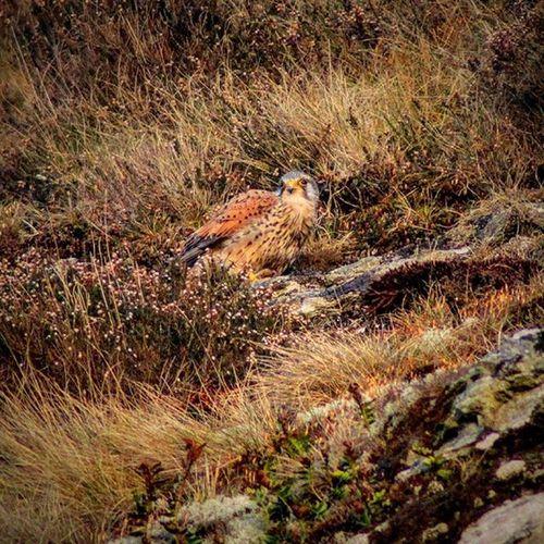 birds Bird Kestrel Birdofprey