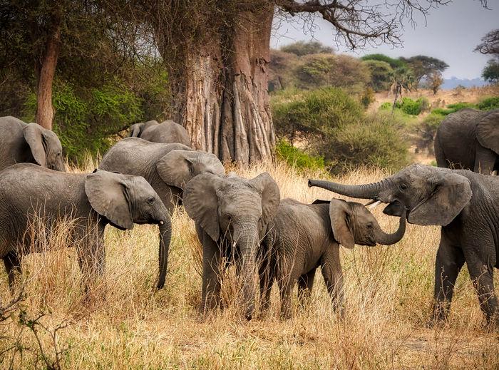 Elephants standing on field