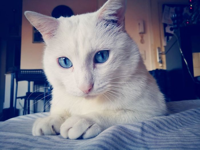 Blue Cutest Thing Ever! EyeEm Selects Pets Portrait Feline Domestic Cat Cute Looking At Camera Close-up Nose Whisker Eye Fluffy Cat Animal Eye Eye Color