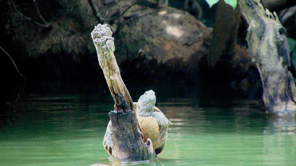 148   เต่าน้อยติดเกาะ วันเข้าพรรษา เชียงใหม่ เที่ยว เที่ยวเชียงใหม่ Chiang Mai   Thailand ทำบุญ อาหาร Chiangmai วัดอุโมงค์ Rhinoceros Alligator Water Reptile Crocodile UnderSea African Elephant Animal Skull Hippopotamus Close-up