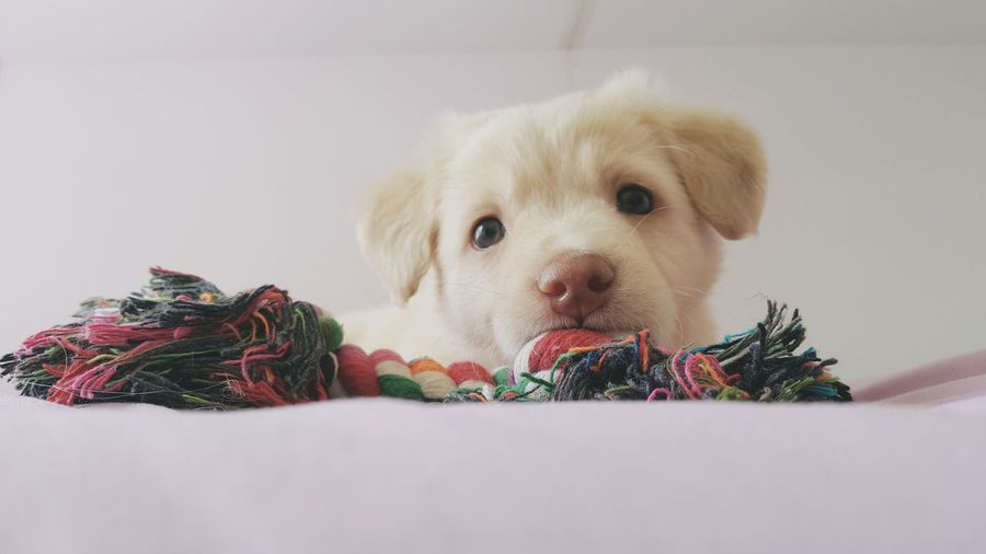 Portrait Of Puppy With Toy On Bed At Home
