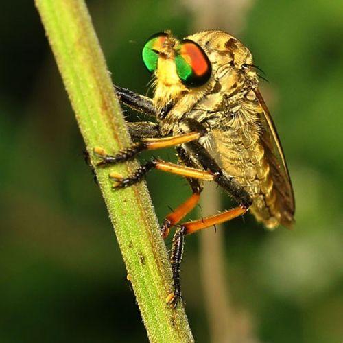 Rainbow Robberfly part 2. Insect Insectstagram Tgif_macro Tgif_insects alalamiya_macro macroworld_tr