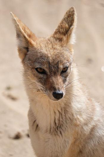 The jackal, namibia