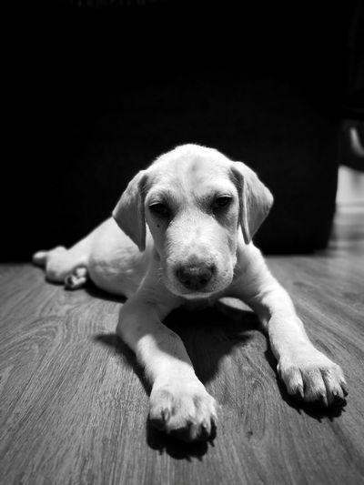 Portrait of dog resting on hardwood floor