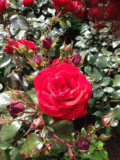 Roses🌹 How Beautiful GodMadeEverything MadeByGod Redcolour Summer2015 Finland