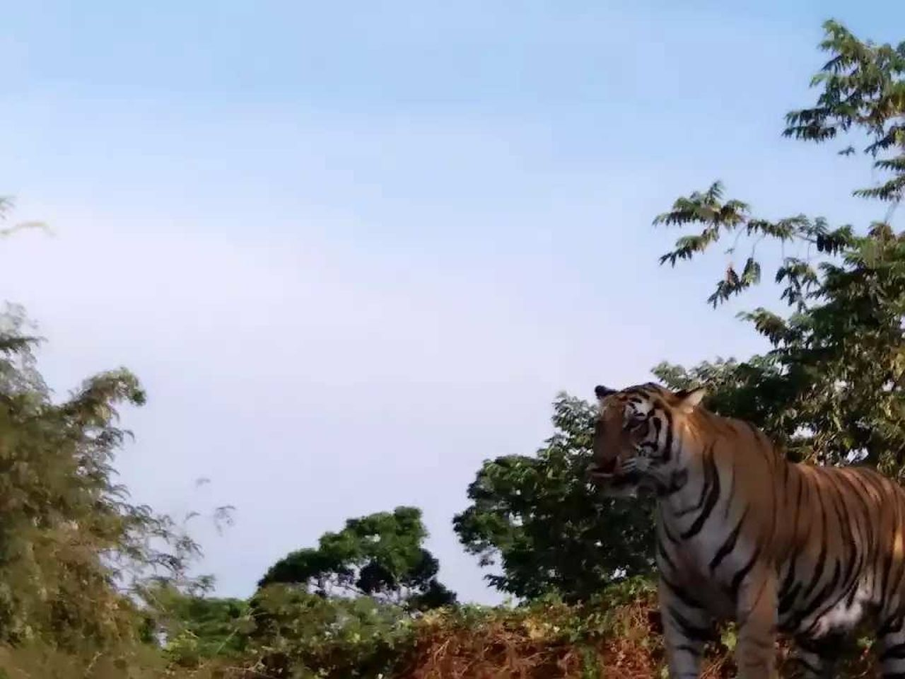 one animal, animal themes, tree, nature, sky, no people, day, mammal, animals in the wild, tiger, outdoors, beauty in nature