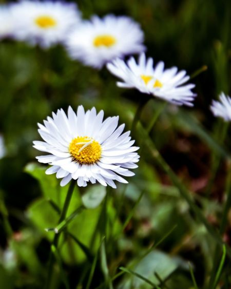 Daisy Outdoors No People EyeEmNewHere EyeEm Nature Lover Nature Nature Photography Photography Photooftheday Poland Close-up Green Grass Flower Head Flower Yellow Petal Springtime Uncultivated Pollen White Color Leaf Summer