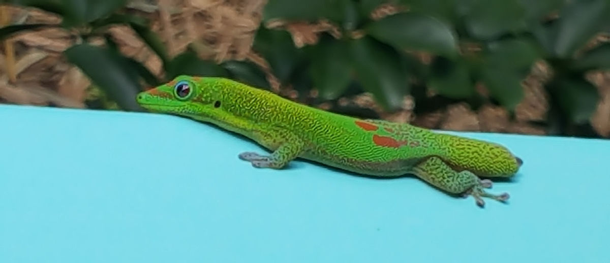 Gecko with No Tail to Tell Animal Animal Body Part Animal Head  Animal Scale Animal Themes Animal Wildlife Animals In The Wild Blue Chameleon Close-up Gecko Green Color Iguana Lizard Nature No People One Animal Outdoors Profile View Reptile Side View Studio Shot Vertebrate