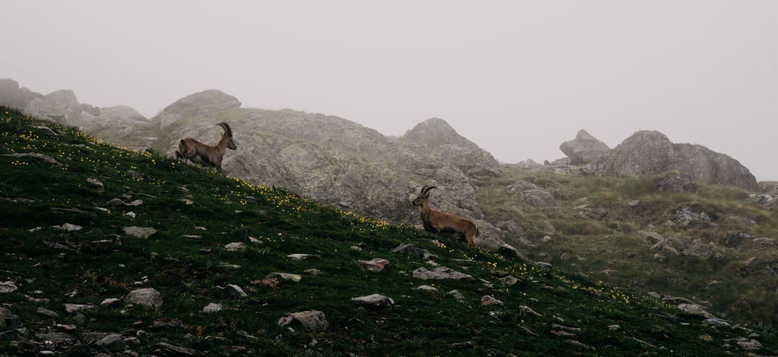 Low angle view of mountain goats