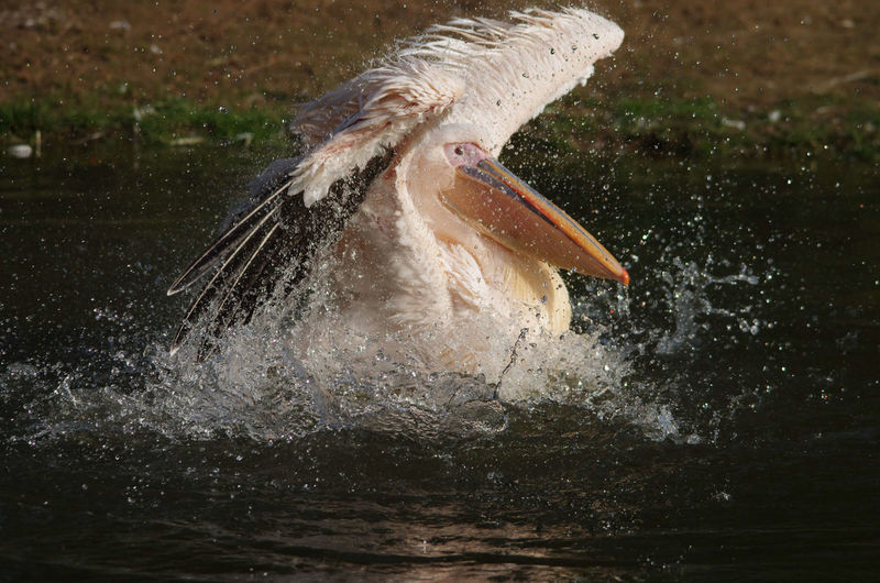 Pelican, enjoying life Close-up Day Feather  Focus On Foreground Joyful Motion Nature No People Outdoors Pelican Rippled Selective Focus Splashing Water