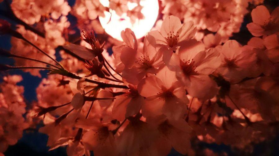 江波山の夜桜