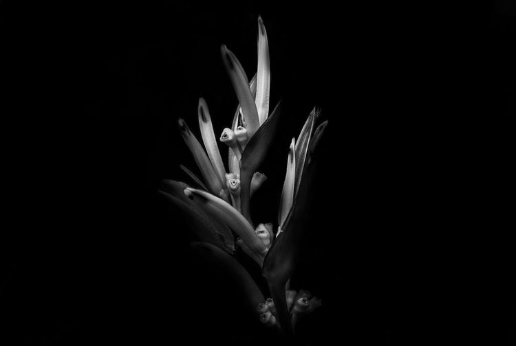 Strong Will To Keep Growing Beauty In Nature Black Background Blooming Close-up Flower Flower Head Fragility Freshness Growth Nature Night No People Outdoors Petal Plant