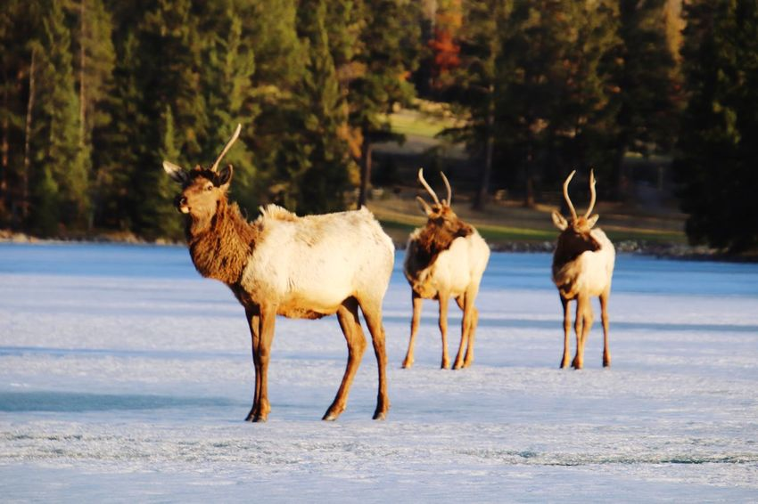 Crossing on frozen lake. Moose EyeEm Selects Group Of Animals Mammal Animal Animal Themes Snow Vertebrate Animal Wildlife Field Beauty In Nature Herbivorous Animals In The Wild The Great Outdoors - 2018 EyeEm Awards
