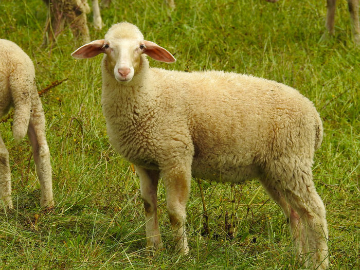 Sheep is standing in the grass Animal Countryside Grass Lamb Livestock Mammal Nature Outdoors Shear Sheep Sheeps Wool