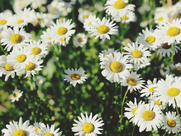 Flowers Collection  Beautiful Flowers Beautiful Nature Beauty In Nature Flowering Plant Flower Freshness Plant Beauty In Nature Fragility Flower Head Vulnerability  Growth Yellow Petal Close-up White Color Daisy Nature No People Focus On Foreground Pollen Day