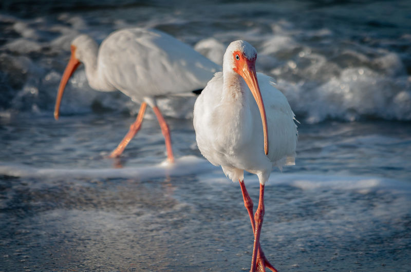 White ibis birds on shore at beach