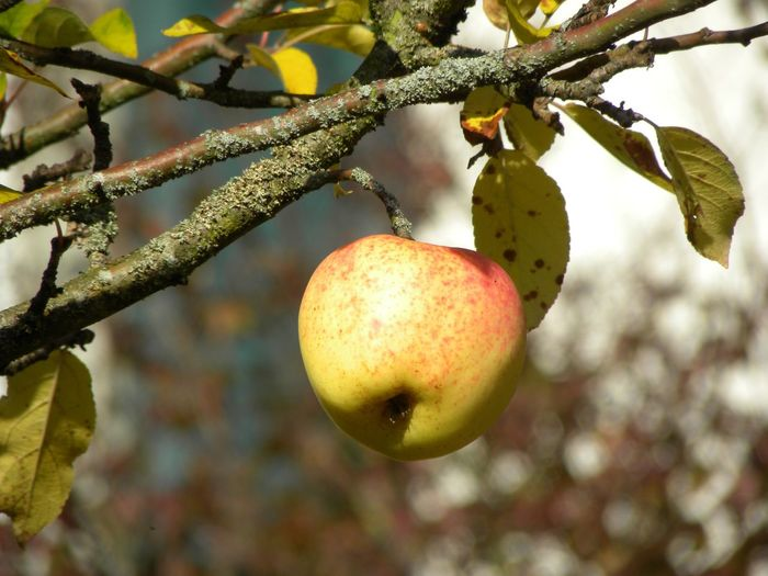 Hanging On The Tree Ripe Fruit Aple_tree Apple Fruit Tree Branch Fruit Leaf Hanging Ripe Close-up Food And Drink