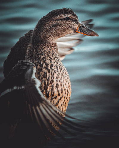 Close-up of a duck in a lake