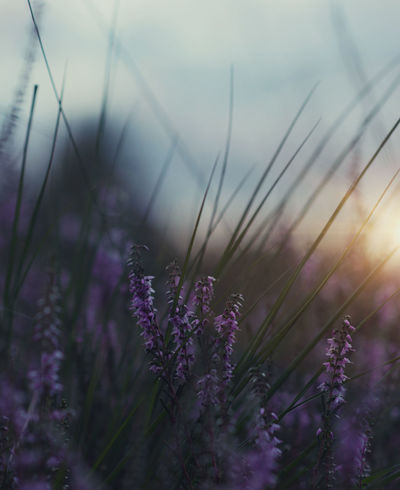 Beauty In Nature Close-up Day Field Flower Fragility Freshness Grass Growth Nature No People Outdoors Plant Purple Sky Tranquility