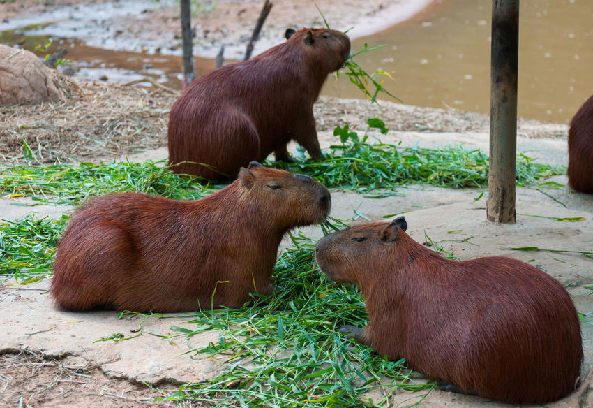Group of Capybara feeding grass is a delicious meal. Animal Themes Animals In The Wild Beautiful Hair Brown Capibara Close-up Day Delicious Domestic Animals Feeding  Field Grass Group Livestock Mammal Nature No People Outdoors Standing Togetherness Young Animal