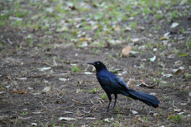 Animal Themes Animal Wildlife Animals In The Wild Bird Crow Day Field Nature No People One Animal Outdoors Raven - Bird
