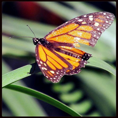 Mariposa con cicatrices de la vida, quiero pensar que no fueron ocasionadas por algún humano. Cada vez se ven menos las Mariposas Monarcas Photo By Agustín Orozco Díaz - 2014