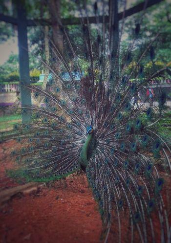 AnimalPeacock Vintage Blure Mini Zoo Bintan