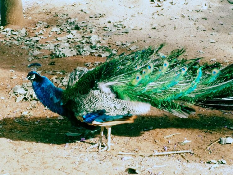 Peacock Life Park Feathers Colored Feathers Daylight Animal Nature