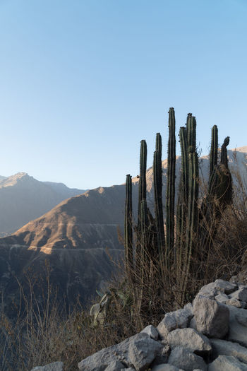 Colca Canyon Highlights Colca Canyon Peru Southamerica Canyon Landscape Nature Mountain Sky Beauty In Nature Tranquil Scene Tranquility Scenics - Nature Non-urban Scene Plant Succulent Plant Cactus Clear Sky Environment Land Day No People Remote Blue Arid Climate Climate Outdoors Ecosystem